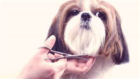 need pictures of shih tzu haircuts pet need pictures of shih tzu haircuts pet haircuts models ideas
