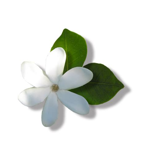 fiore di tiare tiar 233 gardenia taithensis flower tales cosmetica