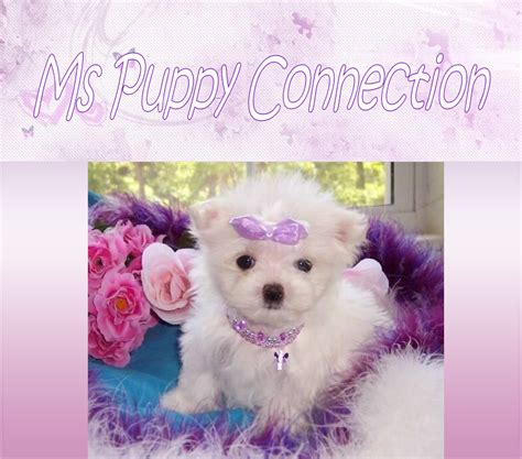 teacup puppies sale mississippi teacup maltese for sale ms puppy connection