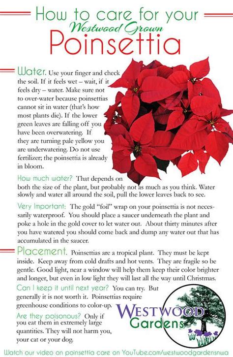17 best images about plants poinsettia on pinterest the plant plant care and gardening