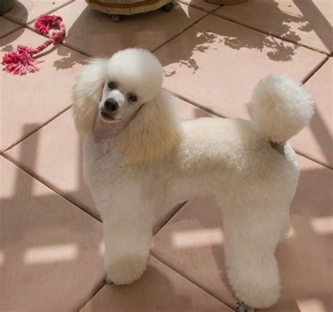 how often do yorkie poos need to be grooming 1000 ideas about mini poodles on poodles poodles and standard poodles
