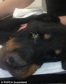 rottweiler eye infections gold coast leaves rottweiler to die in backyard daily mail