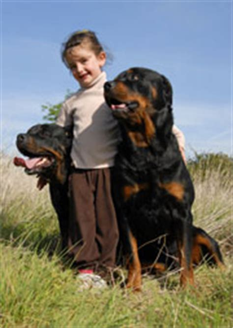 are rottweilers dangerous dogs are rottweilers dangerous a of rottweilers