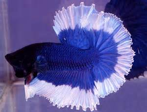 fighting fish is one of the most popular and well known of aquarium