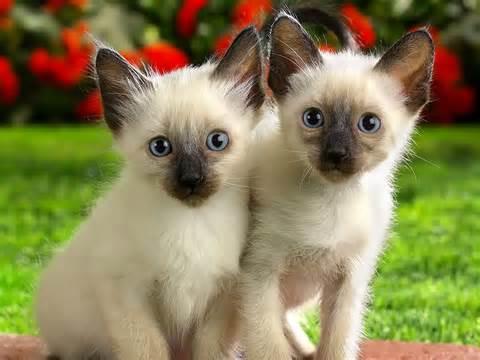 Ragdoll_<strong>kittens</strong>.jpg