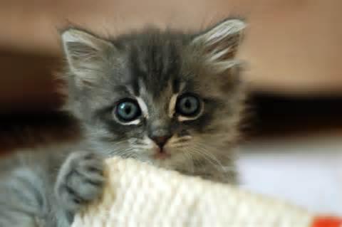 Cute_grey_<strong>kitten</strong>.jpg
