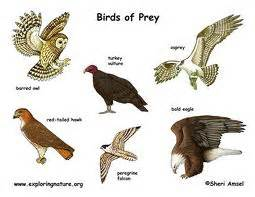 fun birds of prey facts for kids