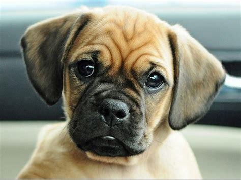 puggle pug pug and beagle puggle