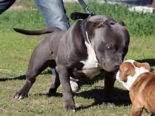 American Bullies Pit Bulls