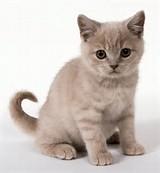 European Shorthair Cat