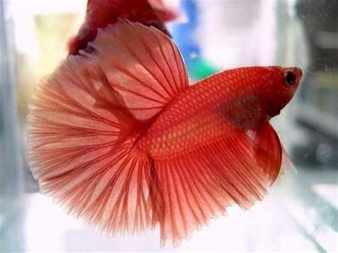 Makanan Ikan Hias Yang Masih Kecil gambar kumpulan aneka ikan cupang hias tercantik