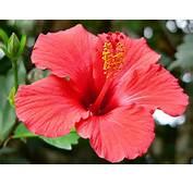 Hibiscus Passion Flower