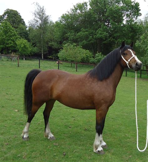 welsh section a pony welsh cob sec c pony bury st edmunds suffolk pets4homes