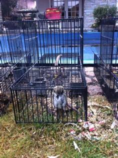 gabbia trappola uccelli con le gabbie trappola catturavauccellini di specie