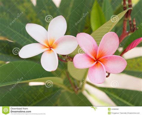 fiore bianco fiore bianco e rosa frangipane fotografia stock