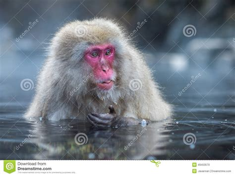 Snow Monkey Or Japanese Macaque In Hot Spring Onsen Stock ...