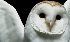 White baby owls 35 lovable collection of owl wallpapers naldz graphics