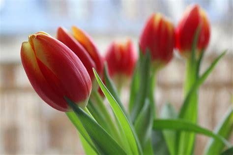 Alte Holzkisten Deko 791 by Gelb Rote Tulpen Im Fr 252 Hling Bringen Sonne In Jeden Raum