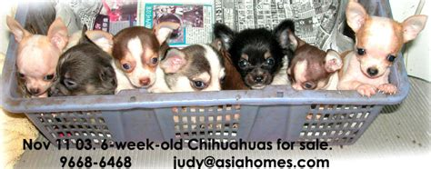 how many puppies do chihuahuas the time 031119asingapore real estate condo advertising agency classified advert