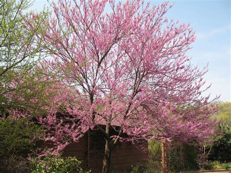 online plant guide cercis canadensis flame flame redbud