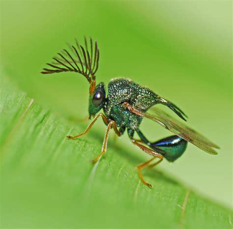 metallic wasp rodrigo layug flickr