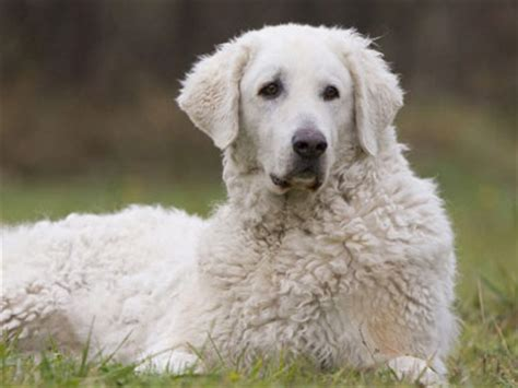big white breeds big fluffy breeds breed care breeds picture