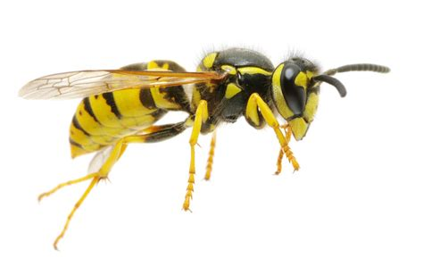 what of bees are these yellow jackets all seasons pest llc