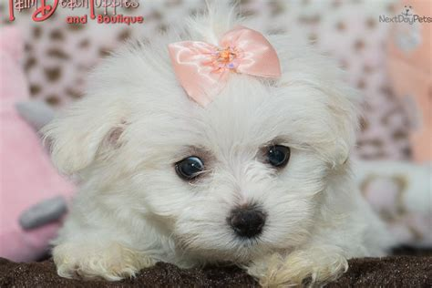 puppies for sale 100 cheap puppies for sale puppies for sale in ohio 100 breeds picture