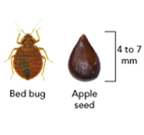bed bug size gallery for gt bed bug size comparison