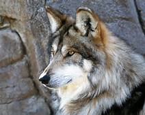 Beautiful Mexican Wolf