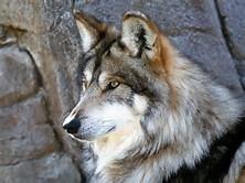 Wolves Desktop Backgrounds