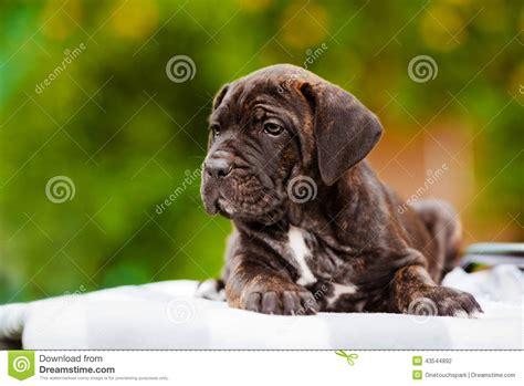 corso brindle puppy brindle corso puppy stock photo image 43544892