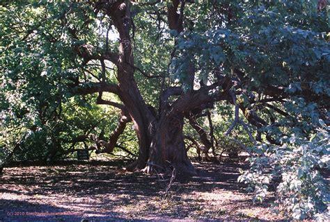 bois d?arc tree
