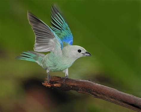 Parrot Home Decor by Blue Gray Tanager Photograph By Tony Beck