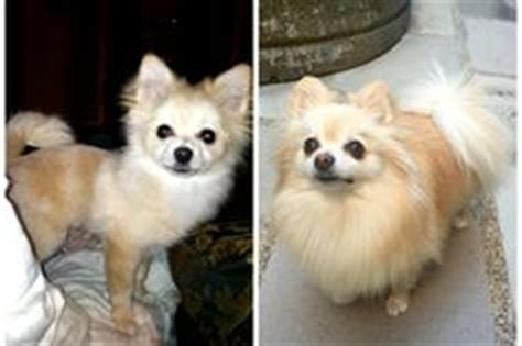pomeranian uglies before and after 1000 images about pomeranian on pomeranians pomeranian dogs and