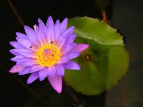 Where To Get Lotus Flower Purple Lotus Flower Flower Hd Wallpapers Images