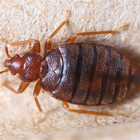 bed bugs removal pest control services delhi govt approved iso certified
