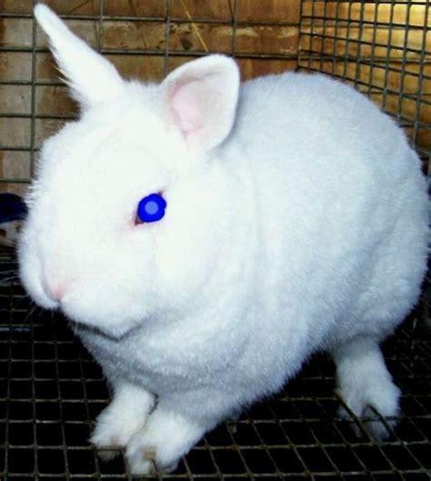 Coklat Kelinci jenis jenis kelinci meliliana