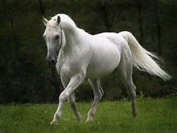 Most Beautiful White Horse