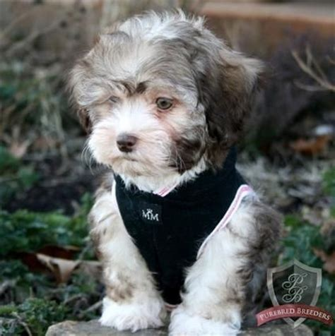 Does A Maltipoo Shed by 109 Best Images About Small Breeds On