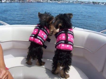 yorkie vest pink jacket yorkie on a vests lakes and safety