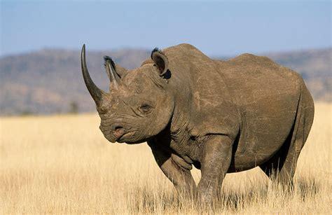 black rhino black rhinoceros the biggest animals kingdom