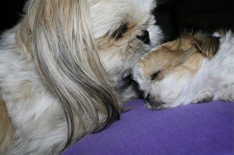 sweet and sassy shih tzu 1000 images about shih tzu s and sweet on pets puppys and shih tzu