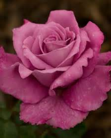 Best Fragrant Plants - 185 best a rose by any other name images on pinterest