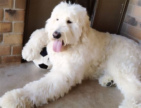 English Goldendoodle | adult males english goldendoodles teddybear goldendoodles
