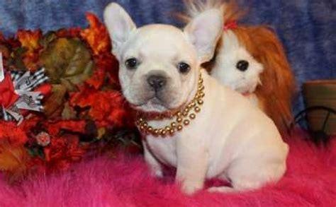 free puppies nyc pedigree akc bulldog puppies dogs puppies new york free