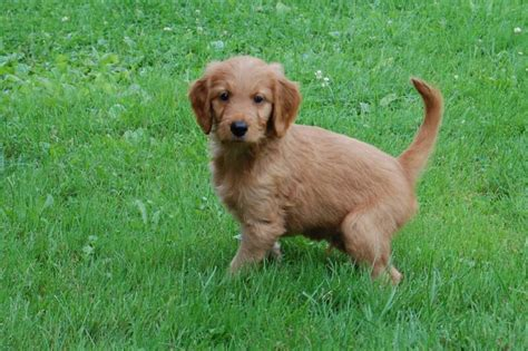 goldendoodle or golden retriever goldendoodle puppies for sale