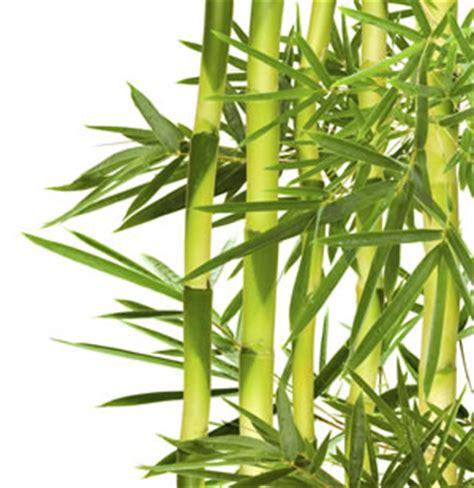 asiatische zimmerpflanzen beliebte asiatische pflanzen und zimmerpflanzen