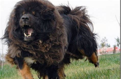 large haired breeds large breeds hair