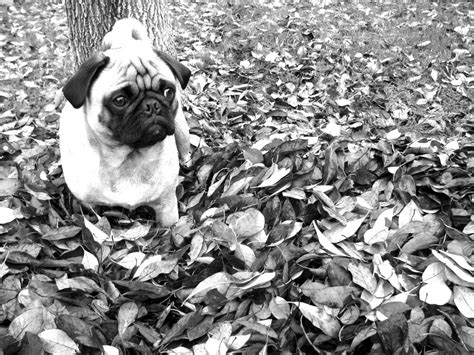 fall pug happy pug breeds picture